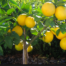 lemons fight disease and cancer