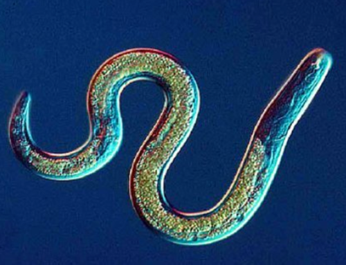 Update: Nematode Infections Confirmed In Morgellons Community